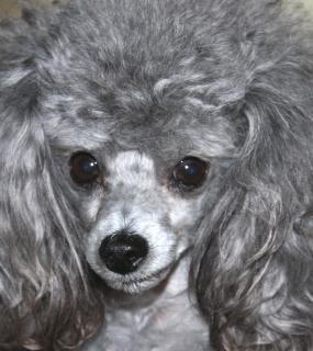 Toy Poodle, hair
