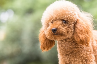 Toy Poodle On Grassy Field