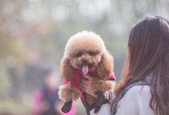 Toy Poodle playing with its female master