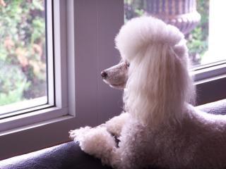 Toy Poodle, poodle