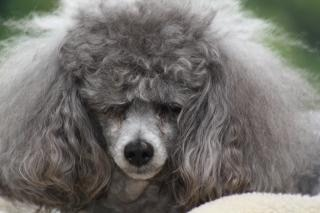 Toy Poodle with bad hair