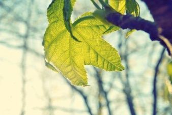 Translucent leaves