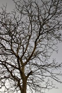 Tree against the sky, bare