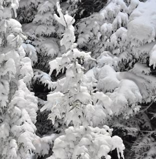 trees covered in snow  hoar