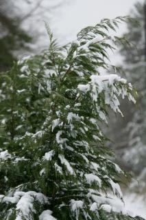 Trees covered in snow  branch