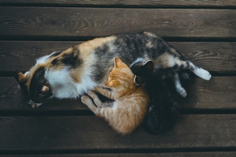Tricolor cat with kittens