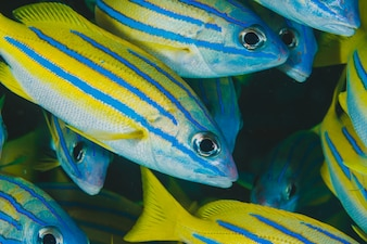 Tropical fishes of blue and yellow color