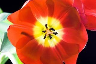tulip , plant