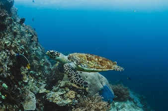 Turtle swimming in a tropical sea