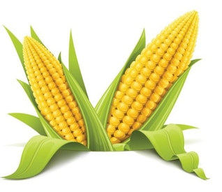 Two corns realistic detailed vector ilustration