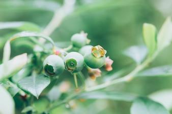 Unripe blue berries on the tree