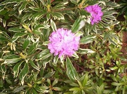 Varigated Rhododendron