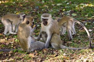 Vervet monkeys  closeup