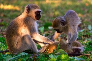 Vervet monkeys  national