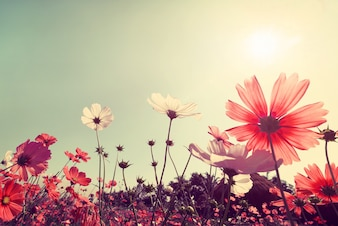Урожай пейзаж природы фоне прекрасного космоса поля цветка на небе с солнечным светом. Эффект фильтра цветовой тонности ретро