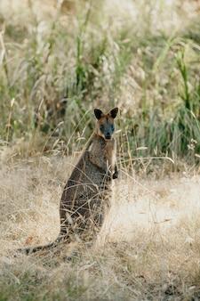 Wallaby (Macropodidae Macropus)