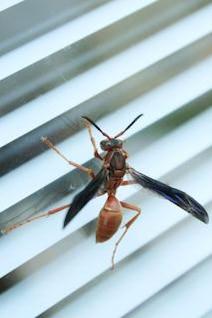 wasp  bug