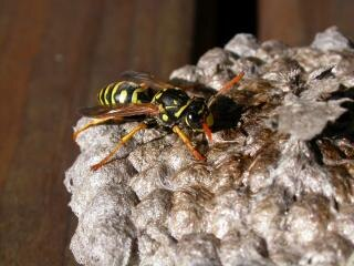 Wasp, yellow