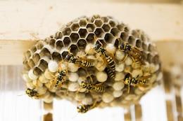 Wasps swarm