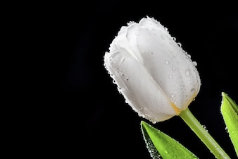 Water droplets in a white tulip