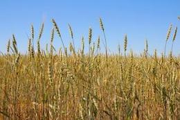 wheat   peasant