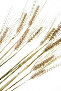wheat, ear