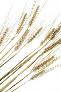 Wheat, ear