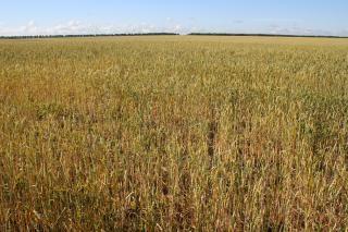 Wheat   field  cultivation