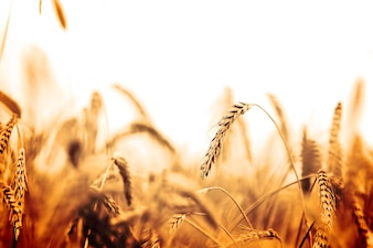 Wheat field in orange tones