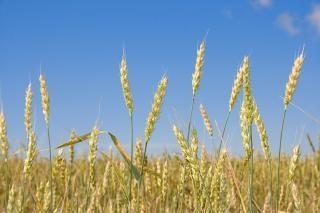 Wheat   grain  kernel