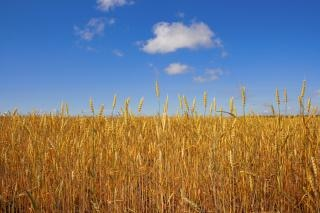 Wheat   wheat
