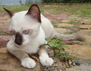 white and black burmese cat  cats