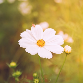 White cosmos flowers in vintage style