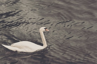 White duck in the lake
