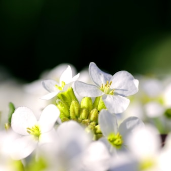 White flowers in bloom