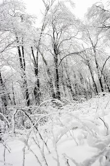 White frozen forest