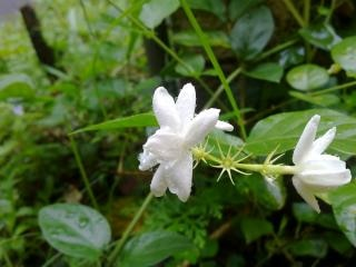 White jasmine flower with water drops