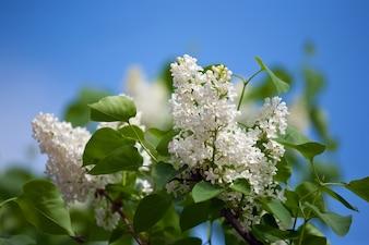 White lilac branch in spring