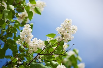 White lilac  in spring