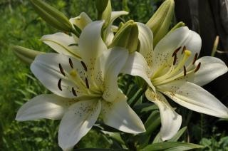 white lily  summer  lily