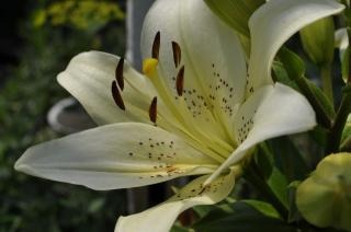 white lily  summer