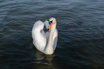 Белый лебедь в туманном озере на рассвете. Утренние огни. Романтический фон.