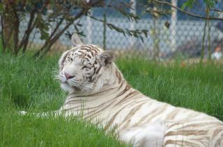 White tiger, rare