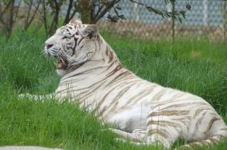 White tiger, zoo