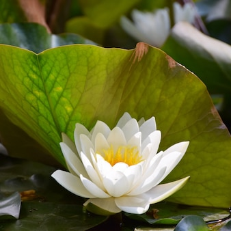White water lily in close-up
