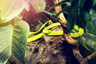 Wild green snake in wild nature forest jungle. Horizontal.