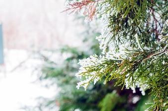冬の背景、コピースペースと霜の松の枝のクローズアップ。冬の風景。雪の多い森の曇りの冬の風景。冬の背景。