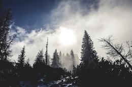 Winter pine snowy landscape