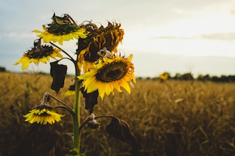 Withering sunflowers in field