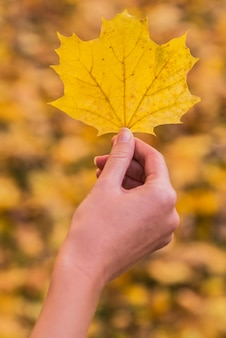 Woman hand is holding yellow maple leaf on an autumn yellow sunny background. Sunny autumn concept.